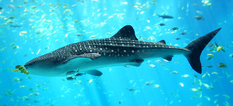 Whale Shark in Georgia Aquarium - Web