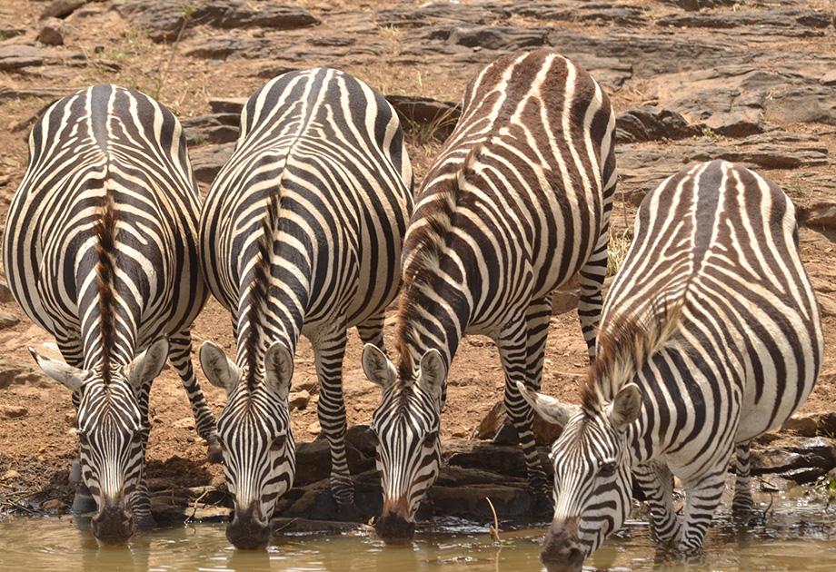 Zebras - Around Pond DSC_9573_Web